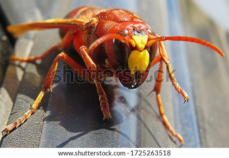 Murder hornet vespa mandarinia  Giant wasp known as killer bee vespa mandarinia or Asian giant hornet Stockfoto ©