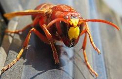 Murder hornet vespa mandarinia  Giant wasp known as killer bee vespa mandarinia or murder hornets