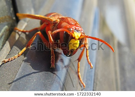 Murder hornets vespa mandarinia  Giant wasp known as killer bee vespa mandarinia or murder hornets    Stockfoto ©