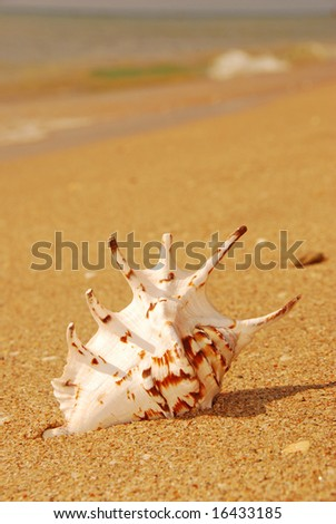 Murex Sea Shell