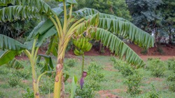 Musa balbisiana Plant with Pseudo Stem, Bract or Male Bud or peduncle, rachis, leaves and bunch of Banana Fruits in Agriculture farm lands grown using organic farming tech in Tamilnadu India SouthAsia