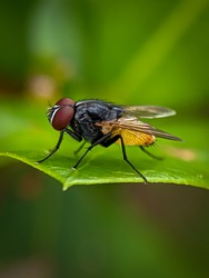 Musca autumnalis, the face fly or autumn housefly, is a pest of cattle and horses.Selective focus image.