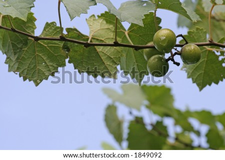 Muscadine Grape Vine Leaves