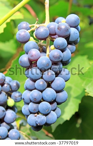 Muscadine grapes.  More in MY GALLERY