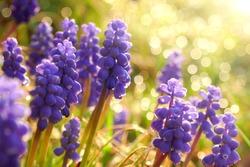 Muscari flower.Muscari armeniacum.Grape Hyacinths .Muscari flowers in warm sunshine on a blurred grass background.Spring flowers