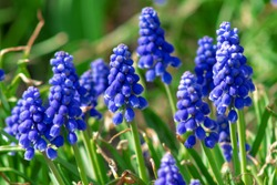 Muscari flowers, Muscari armeniacum, Grape Hyacinths spring flowers blooming in april and may. Muscari armeniacum plant with blue flowers close up.