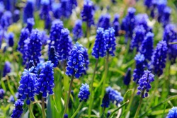 Muscari flowers, Muscari armeniacum, Grape Hyacinths spring flowers blooming in april and may. Muscari armeniacum plant with blue flowers.
