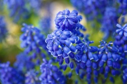 Muscari (grape hyacinth) in the garden