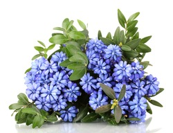 Muscari - hyacinth isolated on white