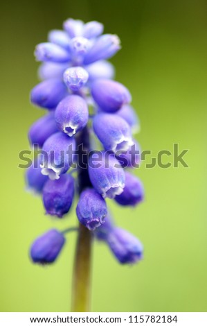 muscari latifolium, or grape hyacinth