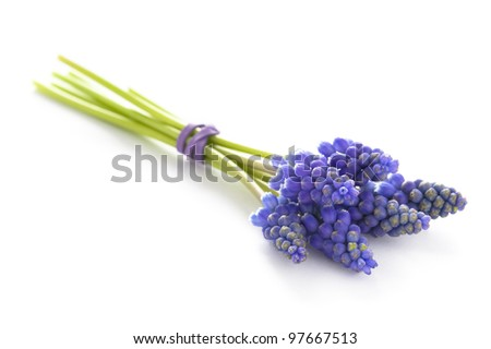 muscari or grape hyacinth isolated on a white background