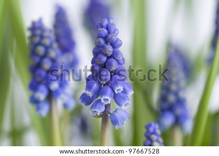 muscari or grape hyacinth plants in flower - stock photo