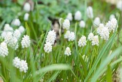 Muscari White Magic, clump of muscari aucheri white magic in flower, flowering grape hyacinths in a garden, UK