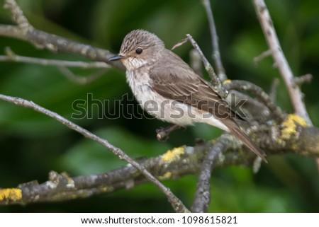 musciapa striata flycatcher bird on tree