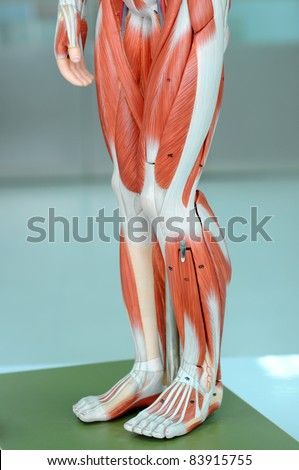muscle anatomy of legs