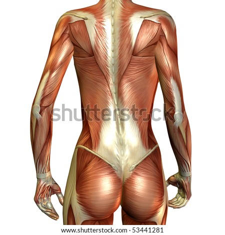muscle of a female back - stock photo