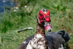 Muscovy Duck against a soft Background - face covered in lumpy red skin and It has blotchy markings - Shallow Depth of Field - Porto, Portugal