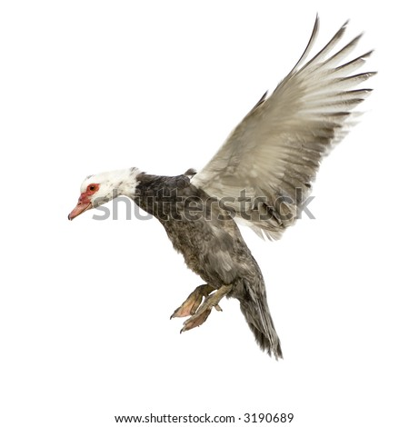 Muscovy Duck in front of a white background
