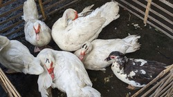muscovy duck in market traditional
