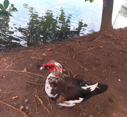 Muscovy duck with red face, Red faced musky duck goose