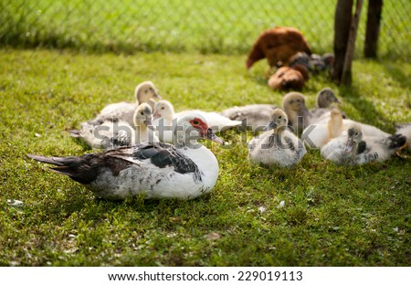 Muscovy Duck young birds group, ducks named Cairina moschata, domestic ducks with white and black fluffy down feathers, young animals sitting on fresh summer grass at free range in private yard