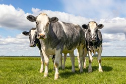 Muscular beef cows, Belgian Blue, walking in a field looking at the camera, happy and joyful and a blue cloudy sky,