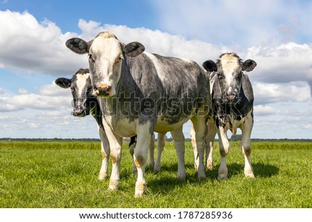 Muscular beef cows, Belgian Blue, walking in a field looking at the camera, happy and joyful and a blue cloudy sky, Foto stock ©