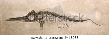 Museum quality cast of a Lower Jurassic Ichthyosaur from the Lias formation in Holzmaden, Germany with shadow of original body shape.