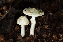 mushroom  Amanita citrina-macro photo
