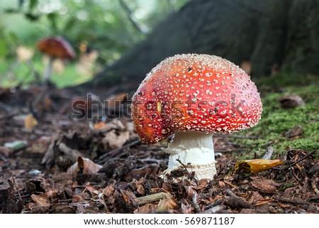 Mushroom Amanita Muscaria solitair in the wood  Stockfoto ©
