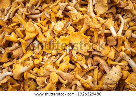Mushroom background. Texture is composed of yellow chanterelles. Background of yellow shade on theme of mushrooms. Concept - organic mushrooms. Growing and collecting mushrooms. Growing chanterelles