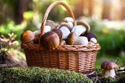 Mushroom Boletus in wicker basket. Autumn Cep Mushrooms. Spring Boletus edulis detail. Cooking delicious organic food mushroom.
