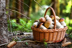 Mushroom Boletus in wicker basket. Autumn Cep Mushrooms. Spring Boletus edulis detail. Cooking delicious organic food mushroom.