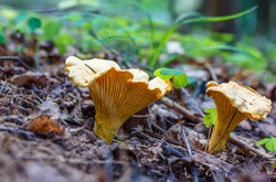 Mushroom Cantharellus cibarius, commonly known as the chanterelle, golden chanterelle or girolle  in forest in the ground
