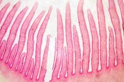 mushroom crosssection microscopy photo