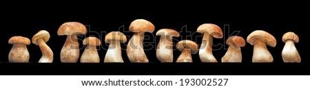 Mushroom family, Cep (Boletus edulis) - king of pore fungi / esculent mushrooms on black background  Foto stock ©