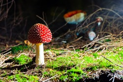 Mushroom, Fly agaric in the forest