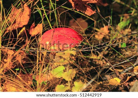 mushroom fly agaric with its red cap and white spots individual grew up in forest lawn #512442919