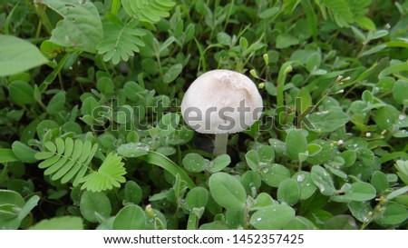 Mushroom growing in field or Mushroom amanita growing in the forest in the grass.