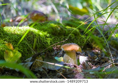 Mushroom grows near log in moss. Natural organic plants growing in forest #1489209713