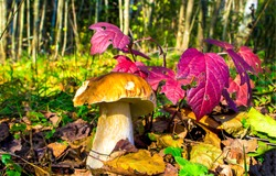Mushroom in autumn forest scene. Mushroom at red autumn leaves. Autumn mushroom. Mushroom in autumn