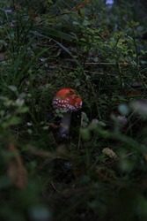 mushroom in the forest, mushroom on a background of green grass