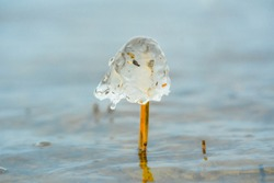 Mushroom like ice caps over straws of reed on the coast. Half transparent dome hat over thin tube, Fragile natural decorations created by temperature fallen below freezing.