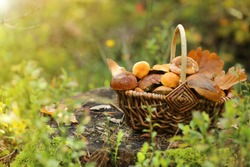 mushroom. mushrooms oily in a wicker basket on a stump in the autumn forest in the rays of the sun.Autumn season. Autumn mood.Autumn time