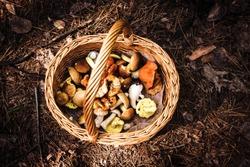 mushroom wicker basket foraging in the forest