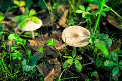 Mushrooms and green plants growing in the forest . Uncultivated plants