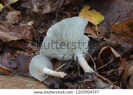 Mushrooms are edible. Clitocybe odora, aniseed funnel, in the autumn deciduous forest. #1203904597