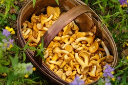 Mushrooms chanterelle in the basket. Composition with wild mushrooms in the forest. CANTHARELLUS CIBARIUS