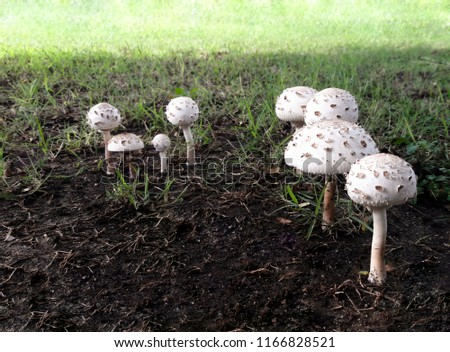Mushrooms grow after the rainy season with heavy rains and high humidity. Fungus grows out of the ground. #1166828521