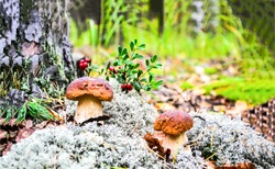 Mushrooms in autumn forest scene. Forest mushrooms scene. Mushrooms in forest. Mushrooms forest view